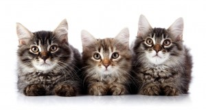 Three fluffy cats. Striped not purebred kittens. Kittens on a white background. Small predators. Small cats.